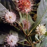 Button Bush (<i>Cephalanthus occidentalis</i>)