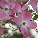 Bare Root Pink Flowering Dogwood (<i>Cornus florida rubra</i>)