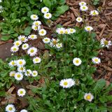 English Daisy (<i>Bellis perennis</i>)