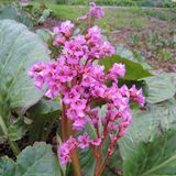 Heartleaf Bergenia; Pigsqueak (<i>Bergenia cordifolia</i>)