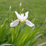 White Roof Iris (<i>Iris tectorum</i> �Alba�)