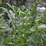 Lovage (<i>Levisticum officinale</i>)