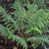 Marginal Shield Fern (<i>Dryopteris marginalis</i>)