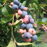 Bare Root �Onslow� Rabbiteye Blueberry (<i>Vaccinium virgatum </i> cv.)