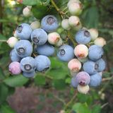 Bare Root �Powderblue� Rabbiteye Blueberry (<i>Vaccinium virgatum</i> cv.)