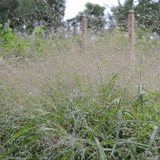 Purple Lovegrass (<i>Eragrostis spectabilis</i>)