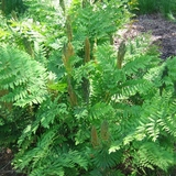 Royal Fern (<i>Osmunda regalis</i>)