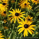 Black-eyed Susan; Orange Coneflower (<i>Rudbeckia fulgida</i> var. <i>fulgida</i>)