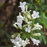Smooth Penstemon (<i>Penstemon digitalis</i>)