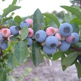 Bare Root �Tifblue� Rabbiteye Blueberry (<i>Vaccinium virgatum </i> cv.)