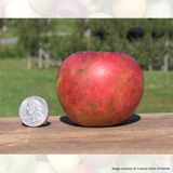 Bare Root Virginia Winesap Apple Tree (<i>Malus</i> cv.)