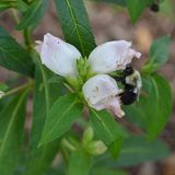 White Turtlehead (<i>Chelone glabra</i>)