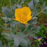 Yellow Horned Poppy (<i>Glaucium flavum</i>)