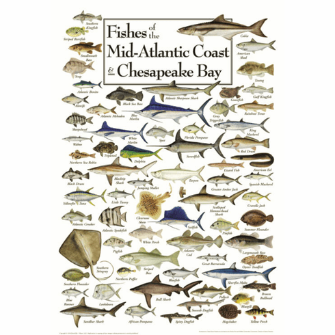 Fishes of the Mid-Atlantic & Chesapeake