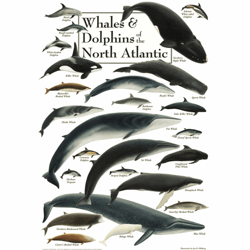 Whales & Dolphins of the North Atlantic
