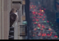 Pale Male looking over Fifth Avenue