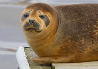 Seal Ditty