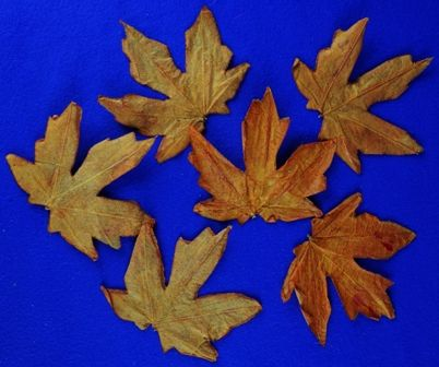 Maple Leaves 6pc