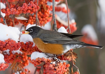 American Robin Holiday Cards
