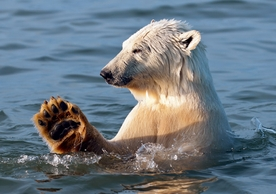 Arctic Polar Bear Notecard