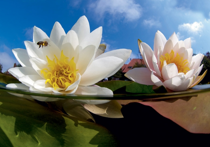 Bee and Waterlilies Notecard