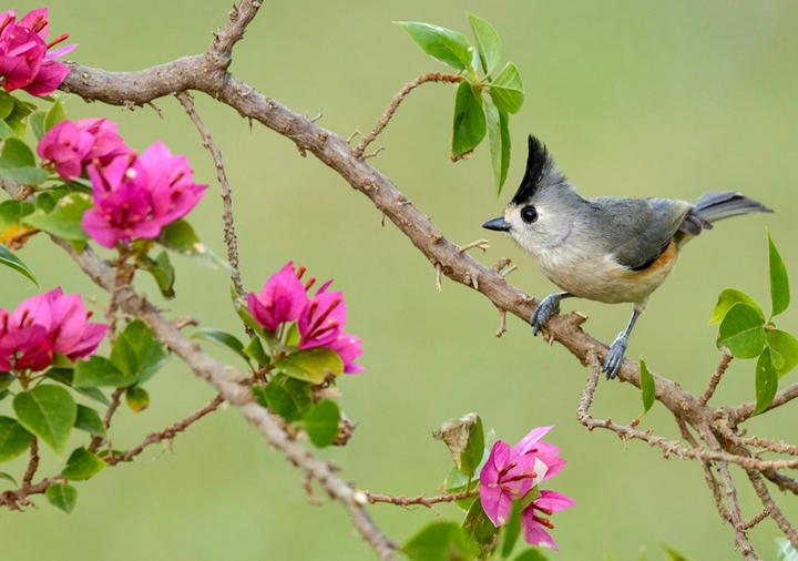 Black-Crested Titmouse Notecard