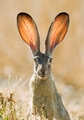 Black-Tailed Jackrabbit Notecard