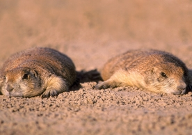 Black-tailed Prairie Dogs Notecard
