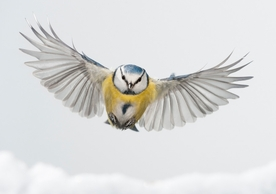 Blue Tit Flying over Snow Holiday Cards