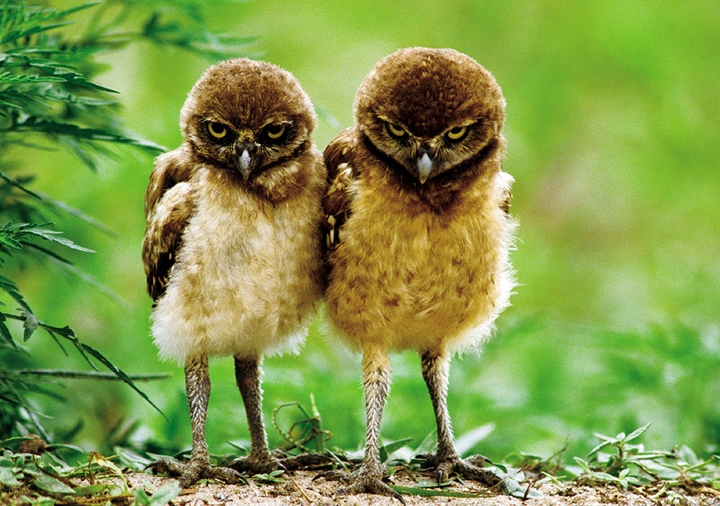 Burrowing Owl Chicks Notecard