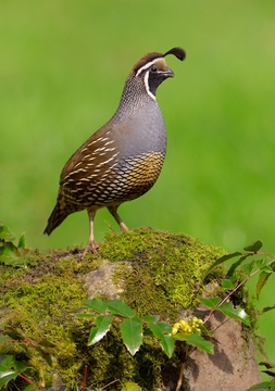 California Quail Notecard