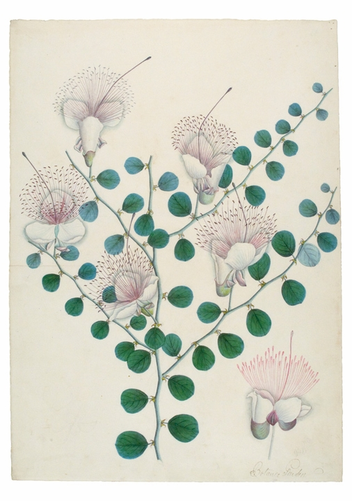 Capparis spinosa Notecard