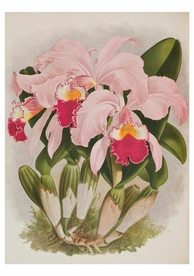 John Nugent Fitch: Cattleya Warneri Birthday Card