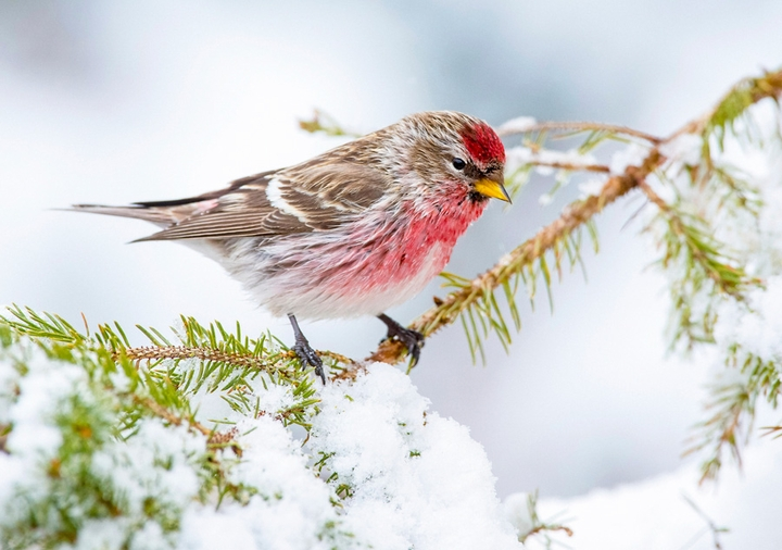Common Redpoll in Winter Holiday Cards