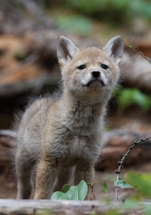 Coyote Pup Notecard