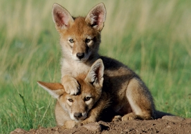 Coyote Pups Notecard