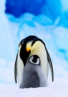 Emperor Penguin and Chick Holiday Cards