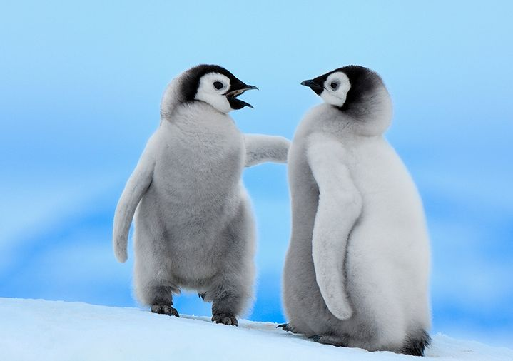 Emperor Penguin Chicks Holiday Cards