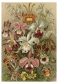 Ernst Haeckel: Orchids Notecard