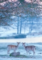 Fallow Deer in Winter Holiday Cards