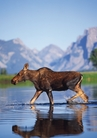 Female Moose Crossing Snake River Notecard