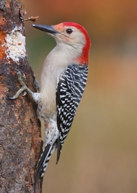 Foraging Red-bellied Woodpecker Notecard