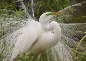Great Egret Notecard