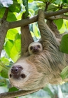 Hoffmann's Two-Toed Sloths Notecard