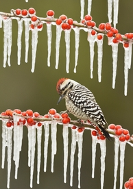 Ladder-backed Woodpecker on Icy Branch Holiday Cards