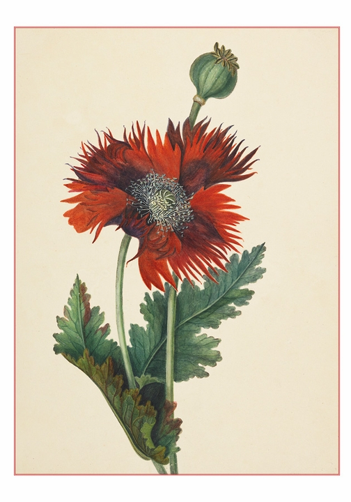 Lady Cockerell: Poppy Boxed Small Notecards