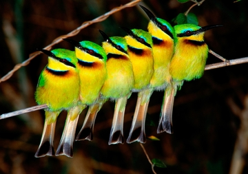 Little Bee-Eaters Notecard