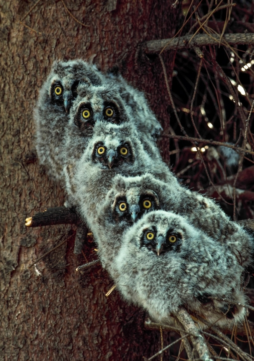 Long-Eared Owlets Notecard