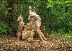Mother Coyote and Cubs Notecard