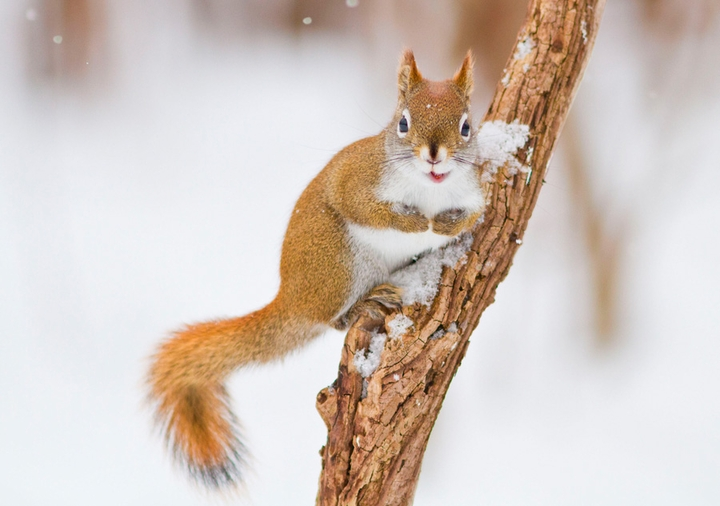 North American Red Squirrel Holiday Cards